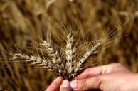 Türkiye'nin İlk Buğday Hasadı Adana'da Başladı